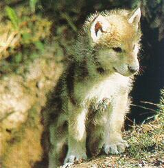 Guerre de Loups Sauvages Index du Forum